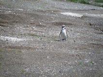Il pinguino vuole un'immagine della cantonata se stesso fotografia stock