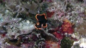 Il pinnatus giovanile ed adulto del pesce pipistrello pennato di Platax ha corpo nero con un orlo giallo arancio luminoso in Raja stock footage