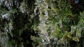 Il pino è stato coperto da ghiaccio Immagine Stock Libera da Diritti