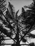Il pino fotografia stock libera da diritti