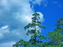 Il pino antichissimo sui precedenti del cielo blu Le montagne Estate Gory Altay, Russia Immagini Stock