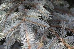Il pino blu si ramifica fondo Fotografia Stock Libera da Diritti