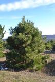Il pino CrimeanPine della Crimea dal pino scozzese è molto lungamente 18-20 Ne lanuginosi e curvo piuttosto, verde scuro contrass Fotografia Stock Libera da Diritti