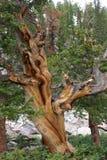 Il pino di bristlecone Fotografia Stock Libera da Diritti