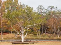 Il pino di Bunge/pino del lacebark/pinus bungeana bianco-scortecciato del pino fotografia stock libera da diritti