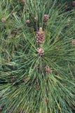 Il pino di Ponderosa pllen i coni Fotografia Stock Libera da Diritti