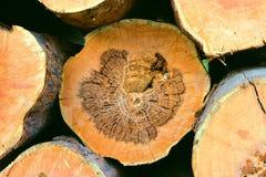 Il pino ha veduto l'estremità Immagine Stock Libera da Diritti