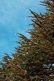 Il pino piangente Fotografie Stock Libere da Diritti