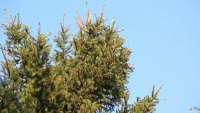Il pino si ramifica con i coni che ondeggiano sul vento archivi video