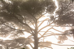 Il pino sommerso nella nebbia Fotografia Stock Libera da Diritti