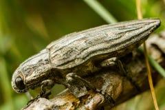 Il Pino-trivellatore - Chalcophora mariana fotografia stock libera da diritti