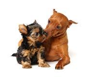 Il Pinscher cattura la cura del cucciolo del Yorkshire Fotografia Stock Libera da Diritti