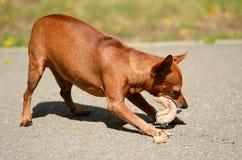 Il pinscher miniatura mangia nel parco Fotografia Stock