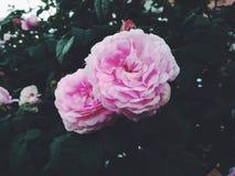 Il pione rosa dell'estate in fioriture fa il giardinaggio fotografia stock libera da diritti