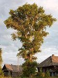 Il pioppo è un gigante alla luce del tramonto Fotografie Stock Libere da Diritti