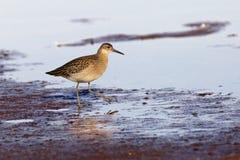 Il piovanello alimenta a alonge il litorale Fotografia Stock Libera da Diritti