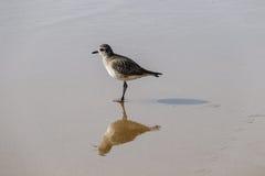 Il piovanello solo si ferma sopra mentre cammina sulla riva della California Fotografia Stock
