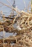 Il piovanello su una palude Fotografia Stock Libera da Diritti