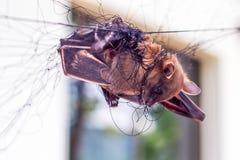 Il pipistrello Fotografie Stock Libere da Diritti