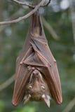 Il pipistrello della frutta epauletted di Franquet (franqueti di Epomops) che appende in un albero Fotografia Stock Libera da Diritti