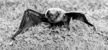 Il pipistrello emette il suono ultrasonico per produrre l'eco Rivelatore del pipistrello Pipistrello brutto Manichino del pipistr fotografia stock libera da diritti