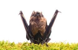 Il pipistrello emette il suono ultrasonico per produrre l'eco Rivelatore del pipistrello Manichino del fondo bianco del pipistrel immagine stock