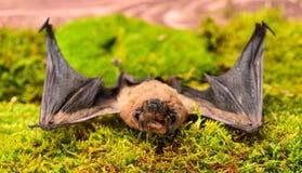 Il pipistrello emette il suono ultrasonico per produrre l'eco Rivelatore del pipistrello Manichino del pipistrello selvaggio su e fotografie stock