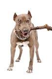 Il pitbull rosicchia un bastone fotografie stock libere da diritti