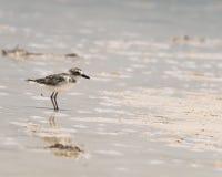 Il piviere di Wilson si alimenta la spiaggia nel Messico Immagini Stock