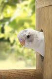 Il poco budgie è sguardo del nido Fotografia Stock