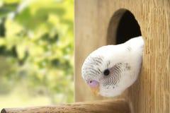 Il poco budgie è sguardo del nido Fotografia Stock Libera da Diritti