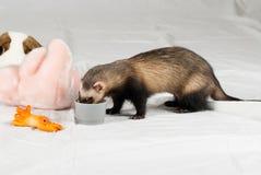 Il Polecat ha mangiato dalla tazza Fotografia Stock Libera da Diritti