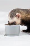 Il Polecat ha mangiato dalla tazza Fotografia Stock