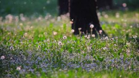 Il polline della primavera sorvola l'erba video d archivio