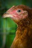 Il pollo coraggioso immagine stock
