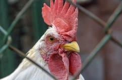 il pollo del gallo è piccolo, con un pettine rosso che esamina il primo piano della macchina fotografica l'aspetto del fronte e d fotografia stock libera da diritti
