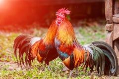 Il pollo si affolla nei prati inglesi dell'azienda agricola nel sole di primo mattino Immagini Stock