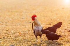 Il pollo si affolla nei prati inglesi dell'azienda agricola nel sole di primo mattino Fotografie Stock