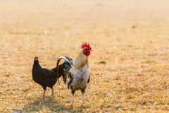 Il pollo si affolla nei prati inglesi dell'azienda agricola nel sole di primo mattino Fotografia Stock
