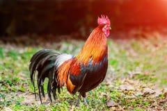 Il pollo si affolla nei prati inglesi dell'azienda agricola nel sole di primo mattino Fotografie Stock Libere da Diritti