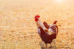 Il pollo si affolla nei prati inglesi dell'azienda agricola nel sole di primo mattino Immagine Stock