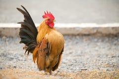 Il pollo stava trovando per alimento fuori del pollaio Immagini Stock