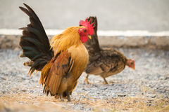 Il pollo stava trovando per alimento fuori del pollaio Fotografia Stock Libera da Diritti