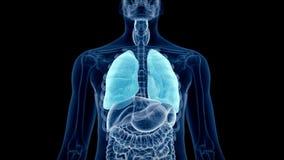 Il polmone umano illustrazione vettoriale