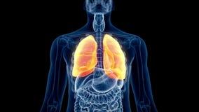 Il polmone umano illustrazione di stock