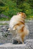 Il Pomeranian immagine stock