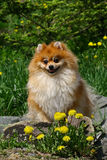 Il Pomeranian Fotografia Stock Libera da Diritti