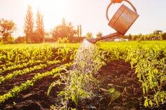 Il pomodoro d'innaffiatura germoglia da un annaffiatoio al tramonto in campagna Agricoltura e concetto di azienda agricola Immagine Stock