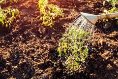 Il pomodoro d'innaffiatura germoglia da un annaffiatoio al tramonto in campagna Agricoltura e concetto di azienda agricola Immagine Stock Libera da Diritti