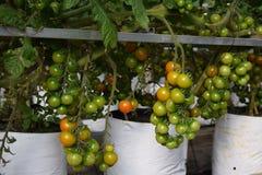il pomodoro fruttifica nel vaso separato per irrigazione a goccia nella serra del Vietnam Immagine Stock Libera da Diritti